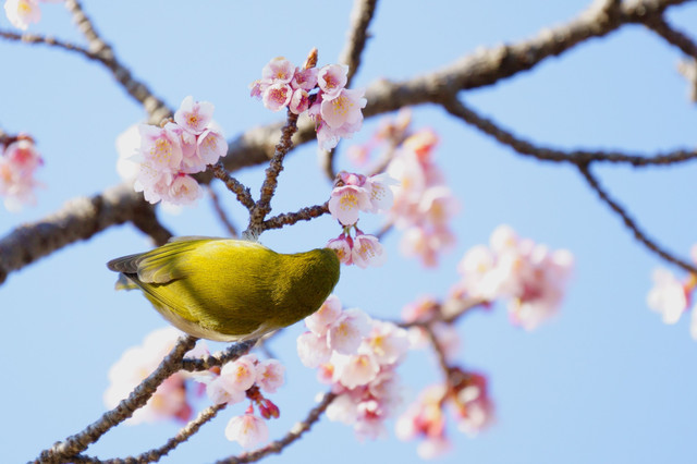 Imperial White-eye ✩