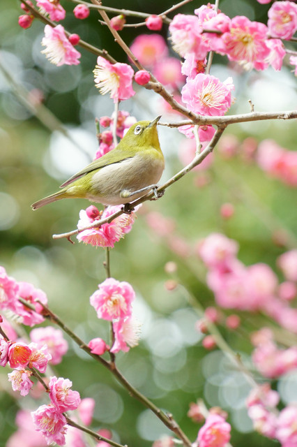 Imperial White-eye☆