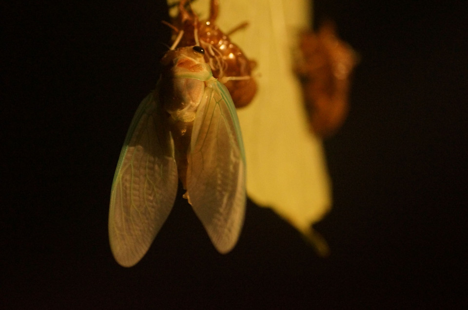 emergence of large brown cicada