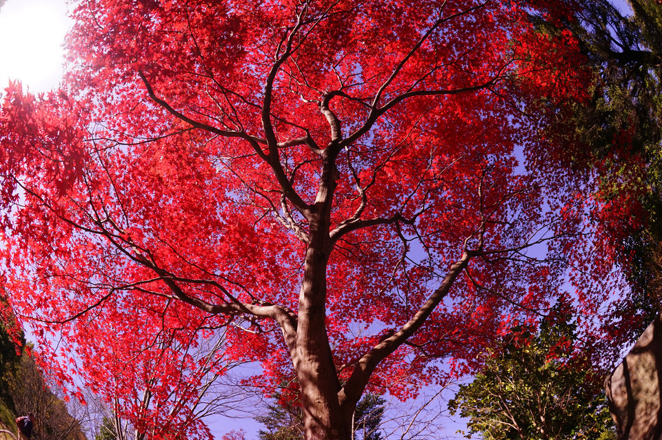 red leaves in blue-sky
