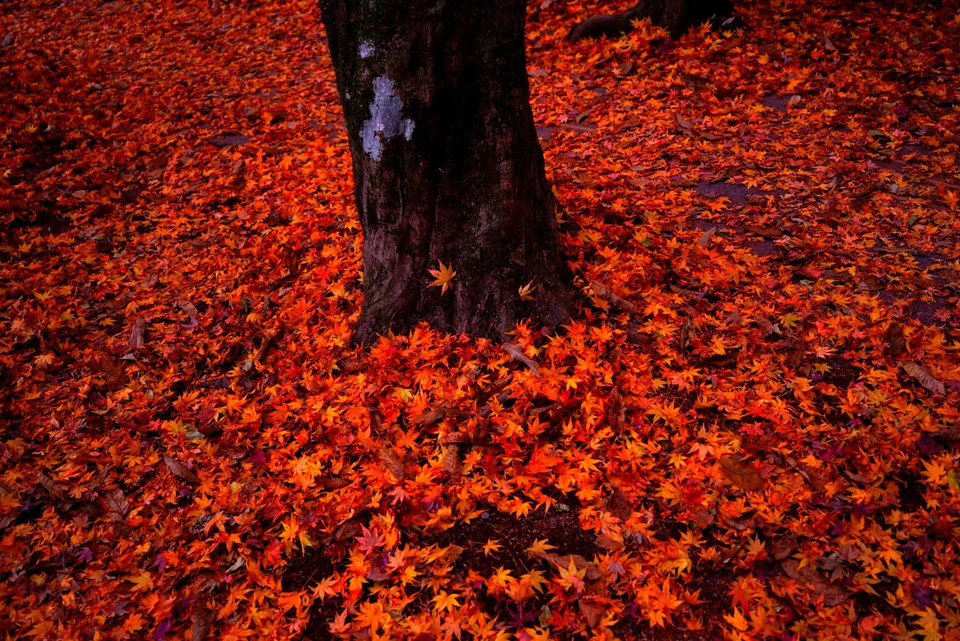 Bright red fallen leaves