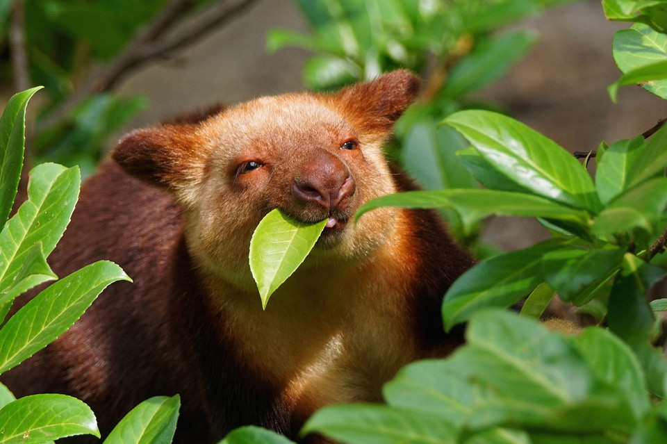 Goodfellow's tree-kangaroo