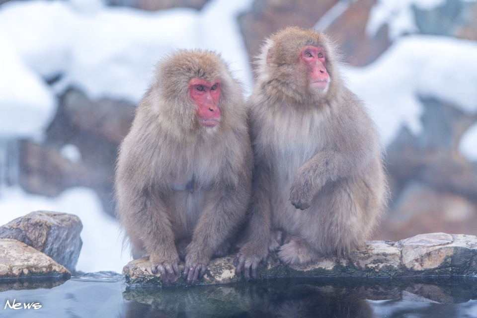 Snow Monkey Resorts 🐵🐒