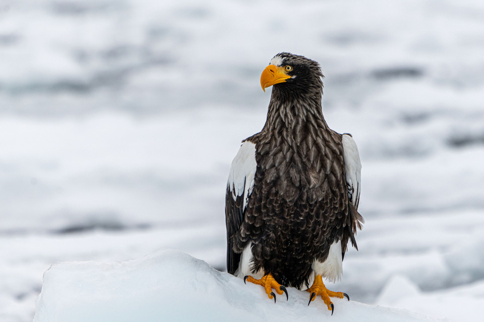 Eagles on drift ice  - 精悍 -
