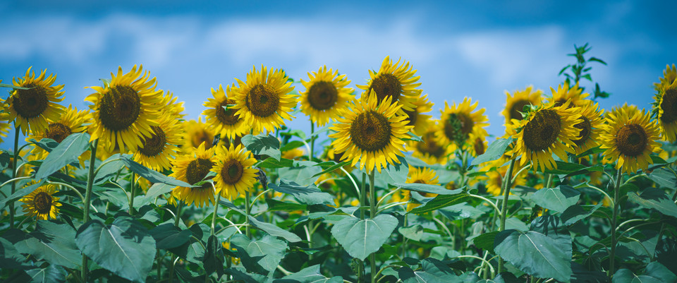 *Sunflower*
