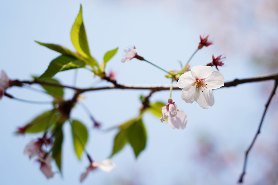 cherry tree in leaf