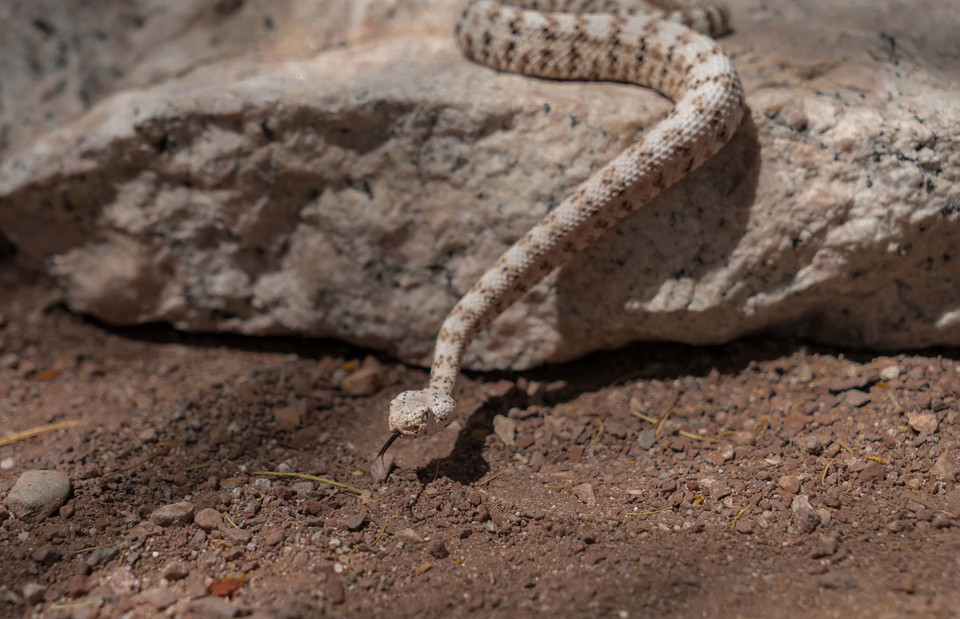 White patched rattle snake