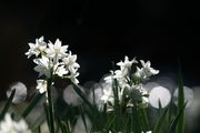 Morning Paper White Narcissus