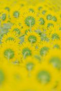 flower photo - sunflower -