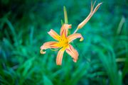 broad dwarf day lily