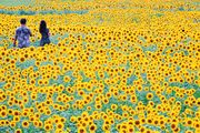 Sunflowers viewpoint Ⅱ