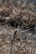 Meadow bunting