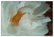 A White Peony for you to Enjoy