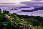 Sea of clouds and Hydrangea.