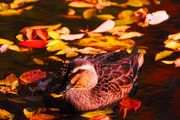 autumn pond...(interlude)