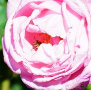 The Insect and the Rose