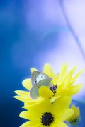 yellow&butterfly
