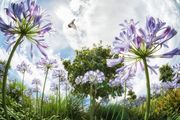 Flying Over Agapanthus