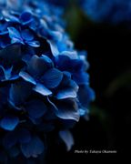 Hydrangea at night
