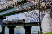 Cherry blossoms and Train
