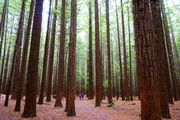 Redwood Memorial Grove trackⅡ