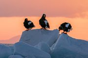 Eagles on drift ice   - 朝日の中で -