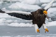 Eagles on drift ice  - 争奪戦 -