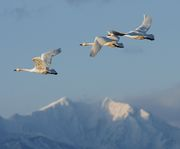 SWANS & THE ALPS