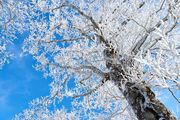 雪の桜 ~Snow Cherry Blossoms 2019
