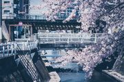 Yoshino cherry tree 2020