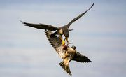 Peregrine Falcon Food Transfer