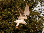 White-tailed Kite(オジロトビ)
