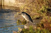 Black-crowned Night Heron(#ゴイサギ#)