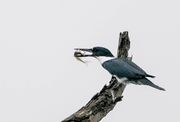 Belted Kingfisher(アメリカヤマセミ)