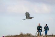 Reddish Heron in flight & Birders