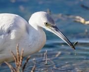 Little Blue Heron's Breakfast