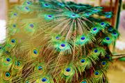 peacock feathers~ クジャク~