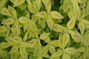 Yellow Green - Coleus
