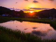 sunset of rice field