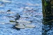 Wagtail on the Ice